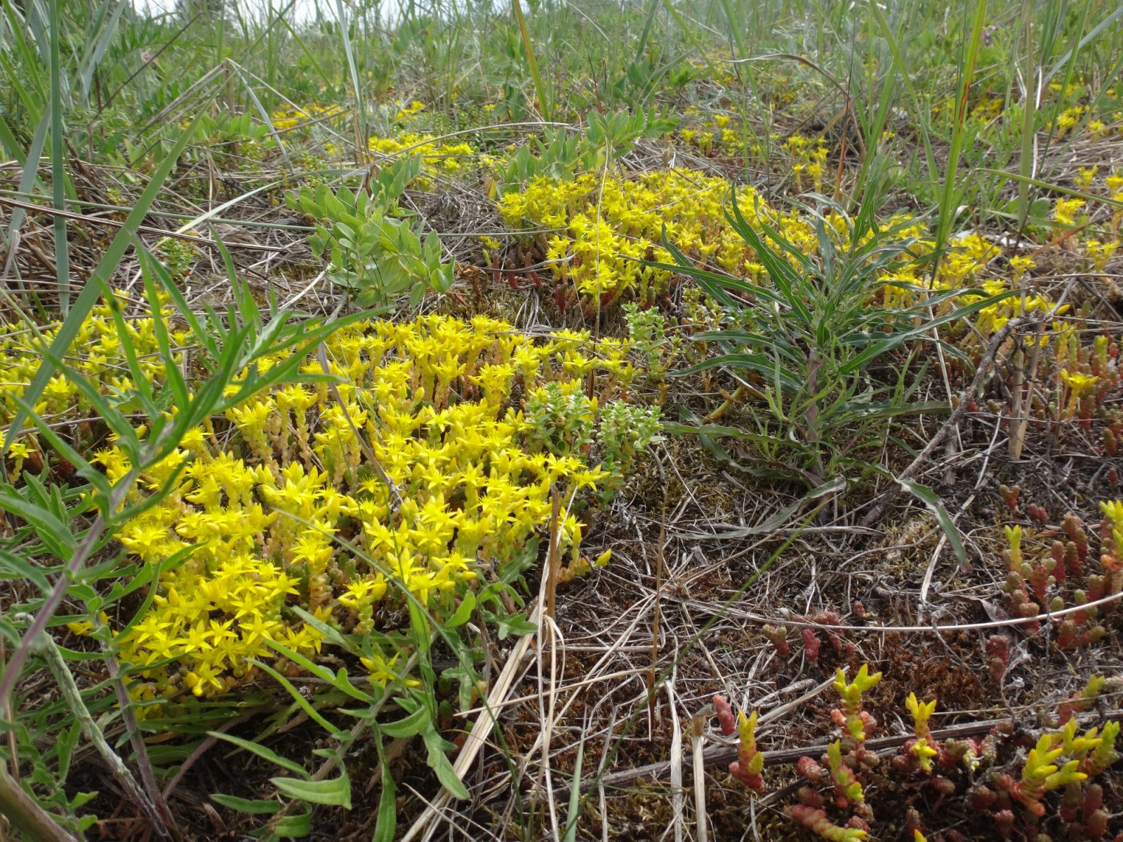 Sedum acre - a plant characteristic to the coastal habitat